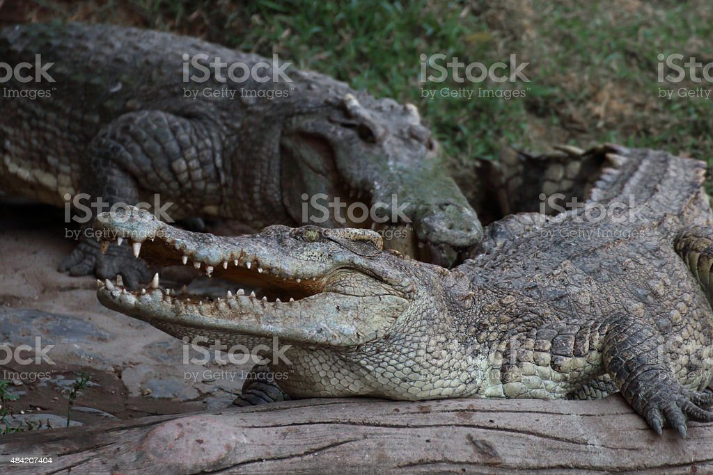 Crocodile resting on the timber. stock photo