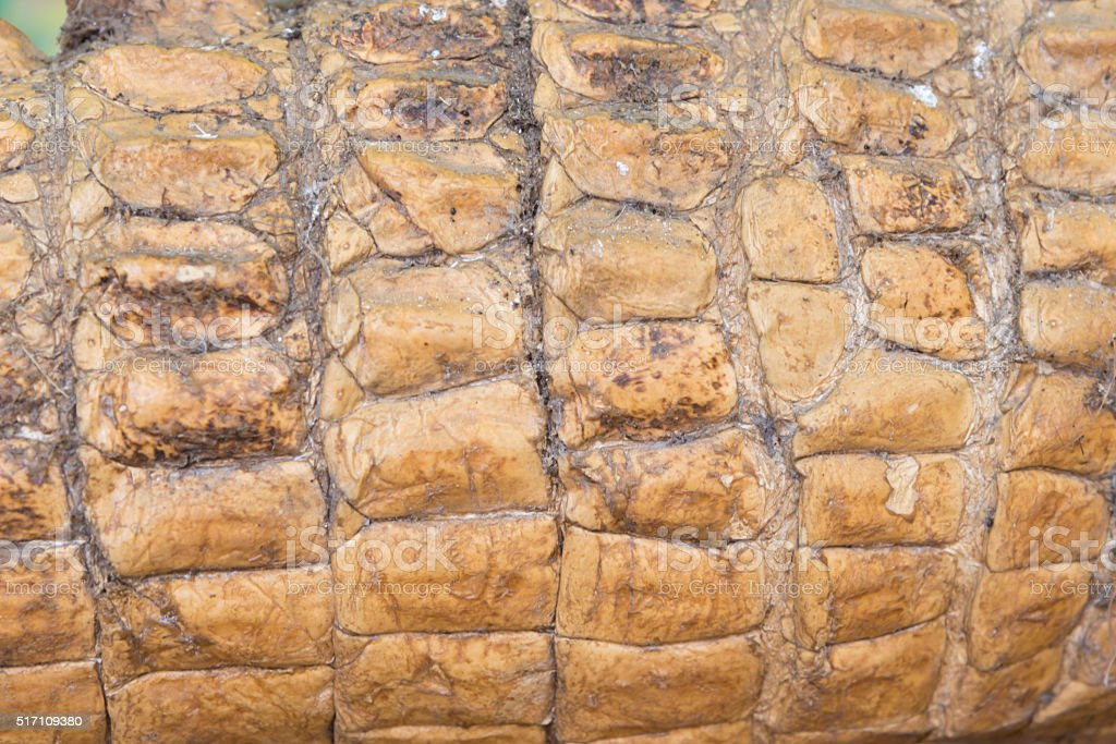 Crocodile skin texture. Shot in South Africa. stock photo