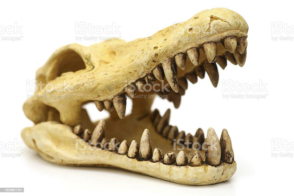 Crocodile skull isolated on white royalty-free stock photo