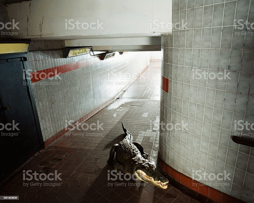 Crocodile stalking in an underpass stock photo
