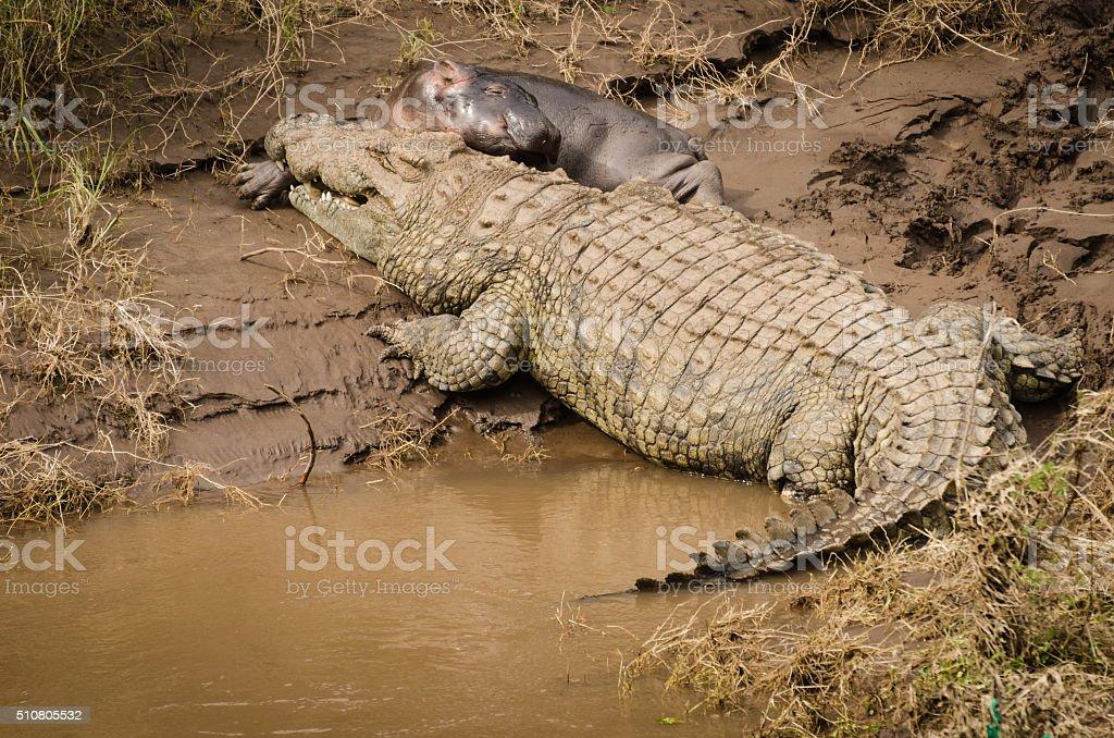 Crocodile takes on Baby Hippo in Mara River stock photo