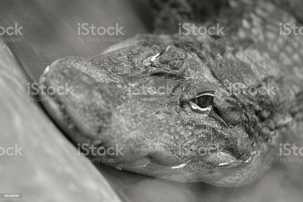 Crocodile Tears stock photo