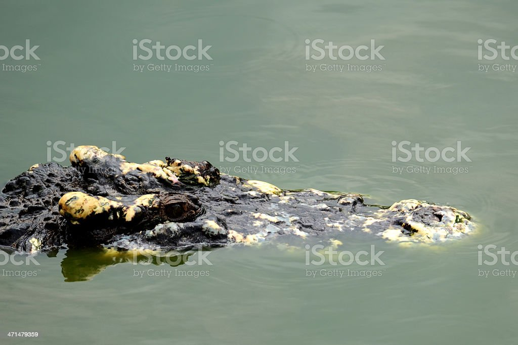 Crocodile Waiting royalty-free stock photo