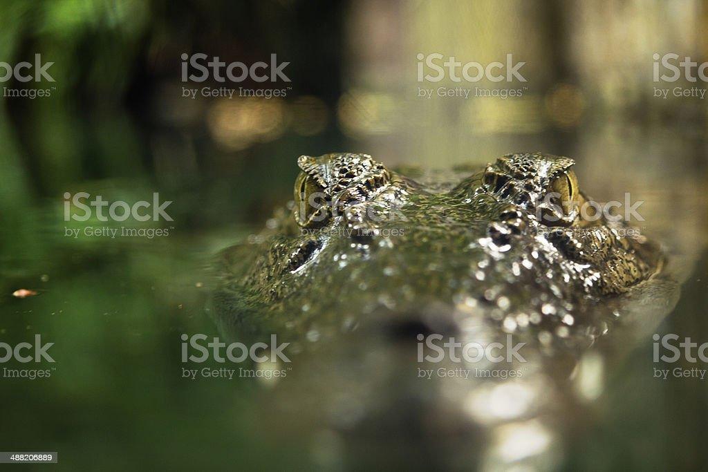 Crocodile watching stock photo