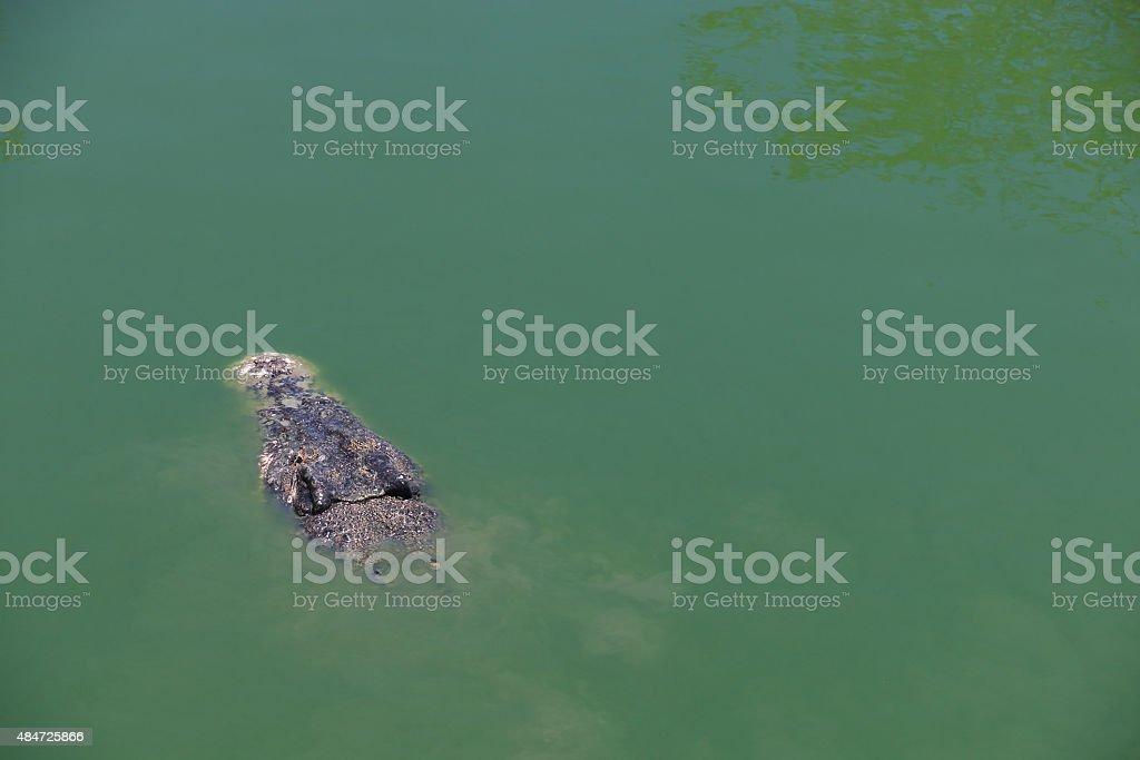 Crocodile with head above water. stock photo