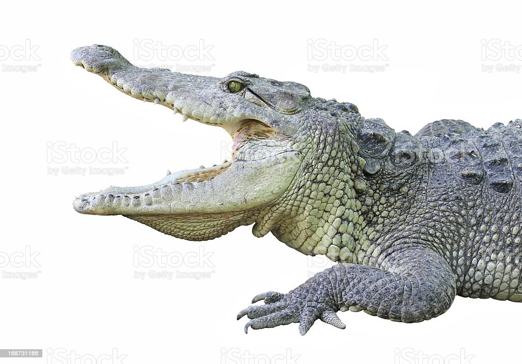Crocodile with open jaws royalty-free stock photo
