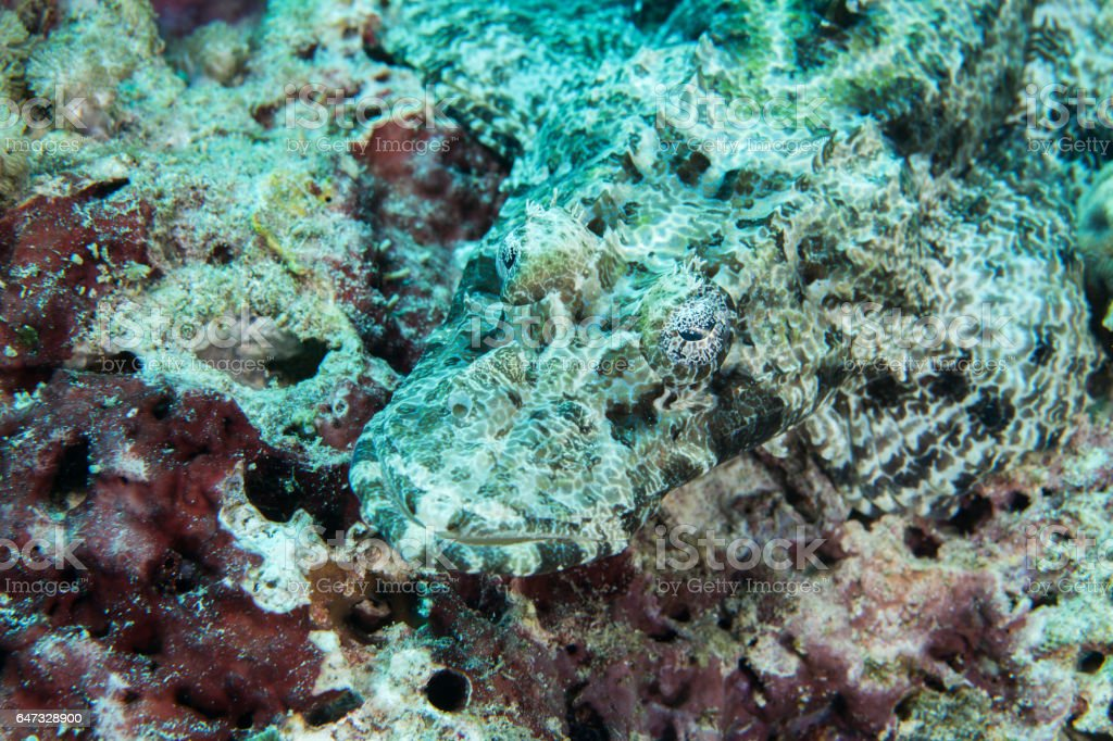 Crocodilefish close-up. Sipadan island. Celebes sea. Malaysia. stock photo