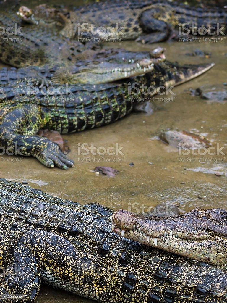 Crocodiles and alligators stock photo