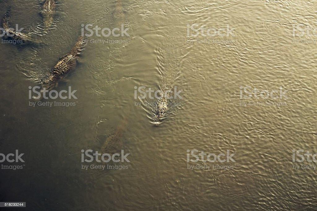 Crocodiles in Costa Rica stock photo