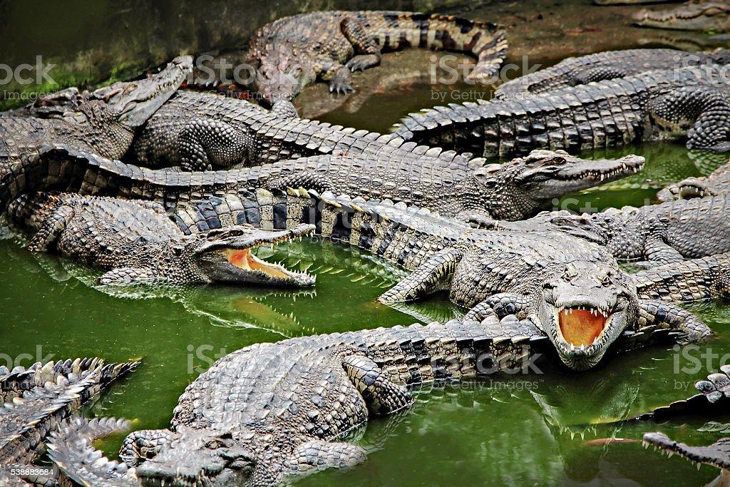 Crocodiles in the water stock photo