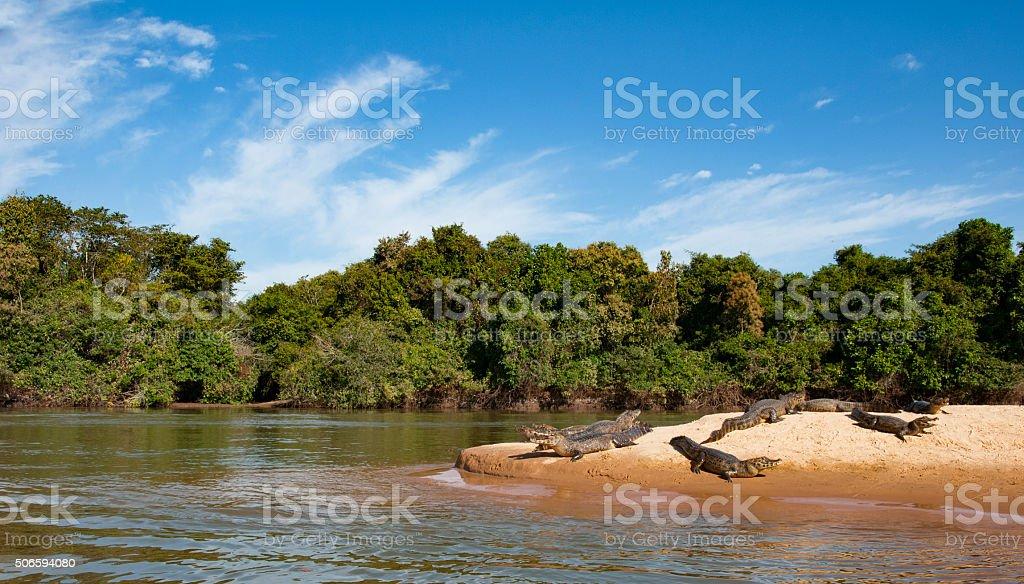 Crocodiles lying lazy on the shore of the Cuiaba river stock photo