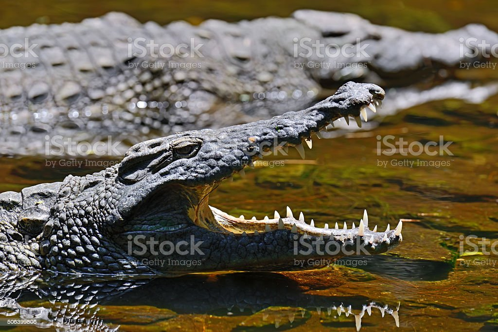 Crocodiles Masai Mara stock photo