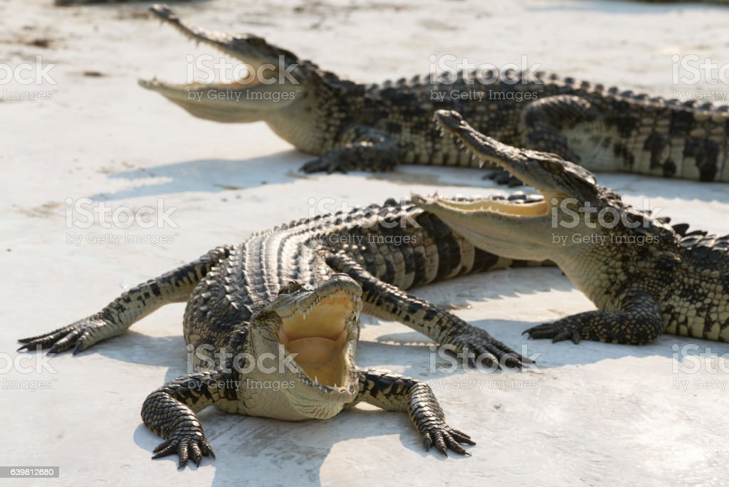 crocodiles sunbathe open mouth and relaxing on the ground stock photo