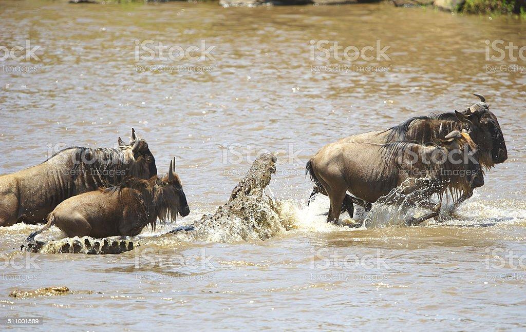 Crocodiles (Crocodylus niloticus) trying to grab Bluewildebeest stock photo
