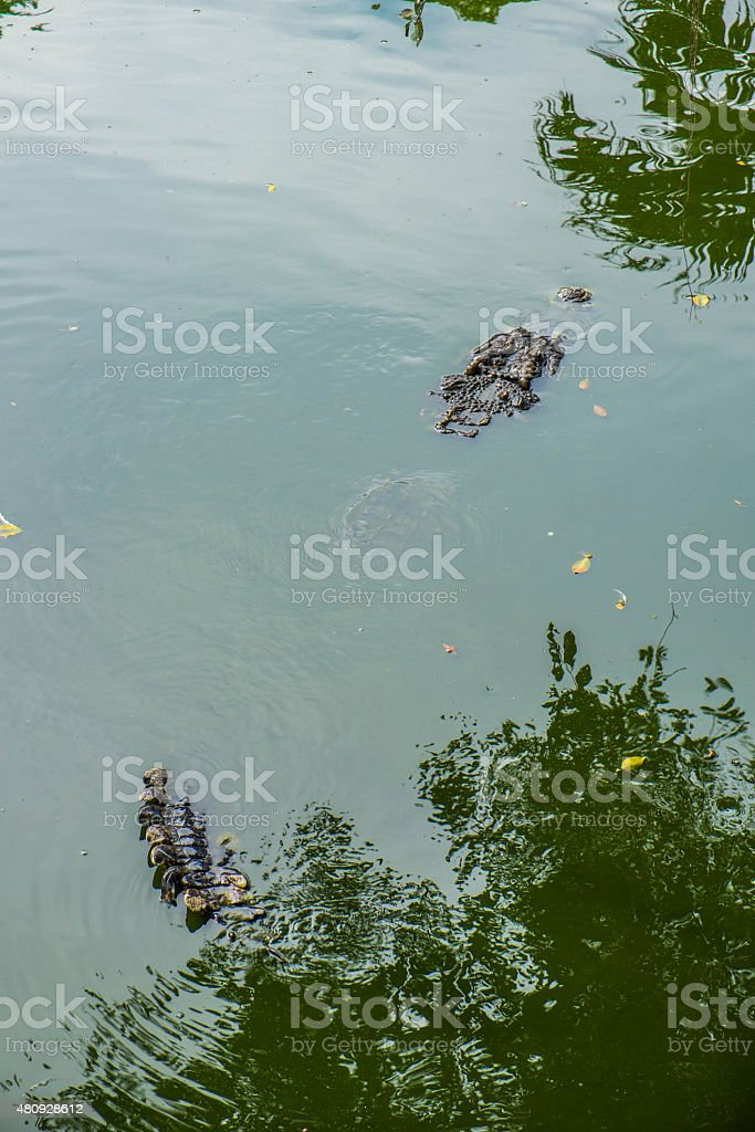 Crocofile hiding for hunting stock photo