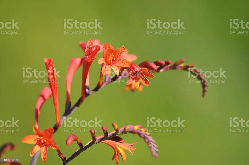 Crocosmia Flower stock photo