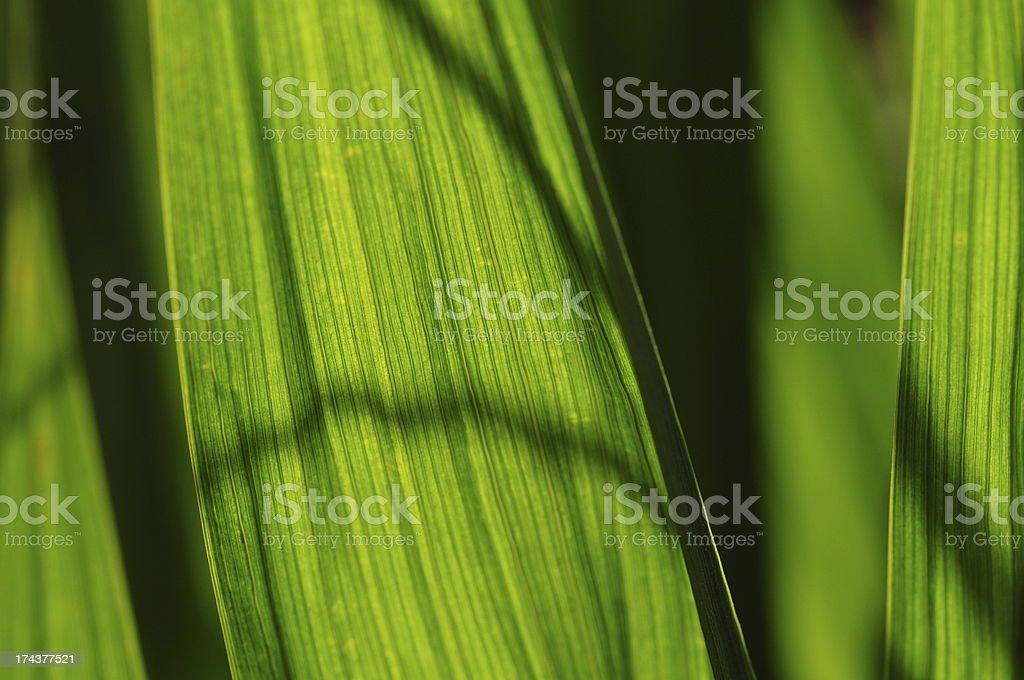 Crocosmia leaves, U.K. royalty-free stock photo