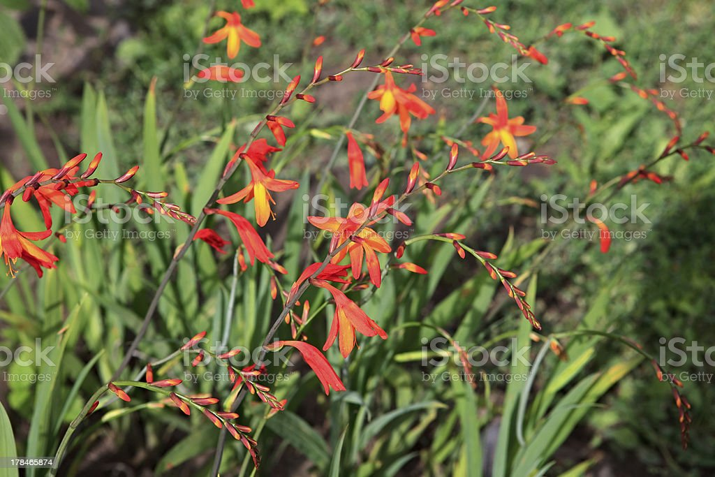 Crocosmia. royalty-free stock photo