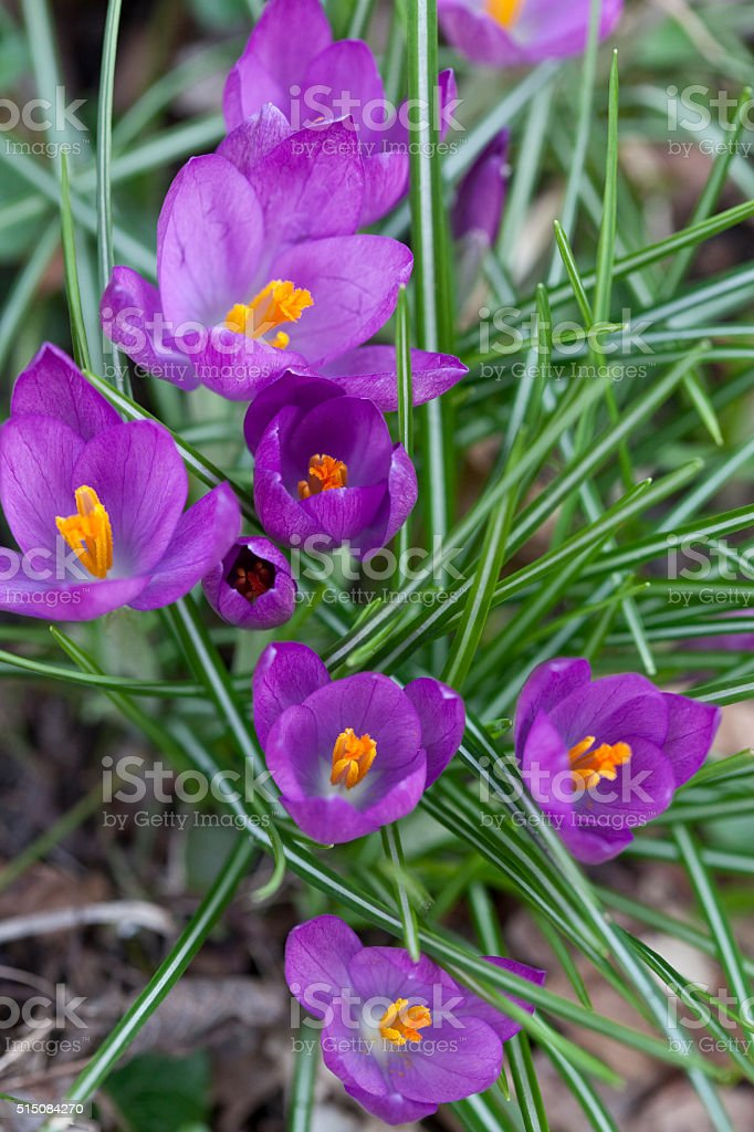 Crocus a Sign of Spring stock photo