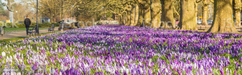 Crocus blooming in the spring in the city park stock photo