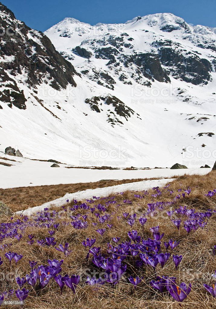 Crocus blooming under the mountain peak stock photo
