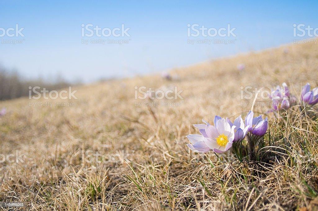 Crocus Blooms stock photo
