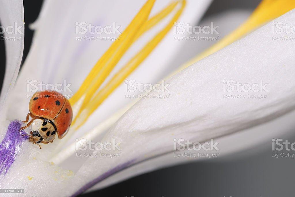 Crocus blossom wiht Ladybug royalty-free stock photo