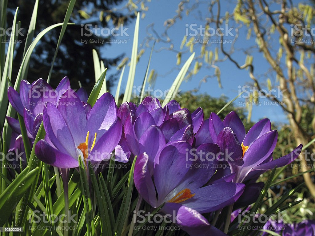 Crocus blossoms in flower-bed royalty-free stock photo