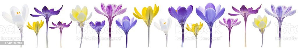Crocus border royalty-free stock photo