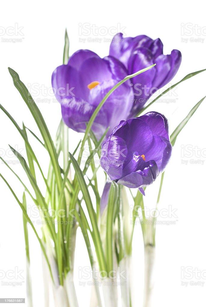 crocus bouquet royalty-free stock photo