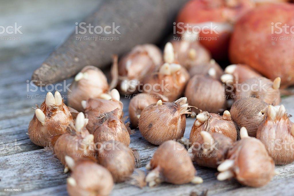 Crocus bulbs ready for planting stock photo