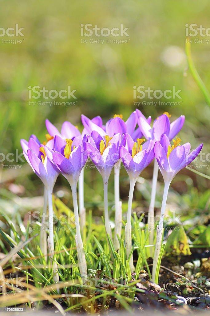 Crocus bunch vertical close up in spring season stock photo