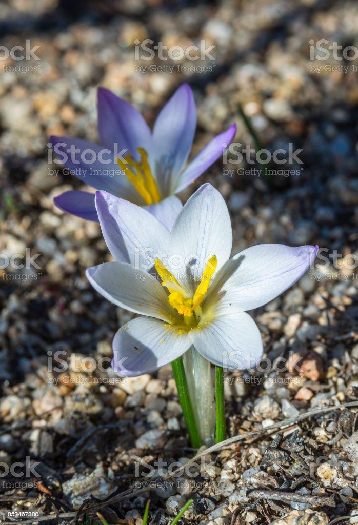 Crocus carpetanus stock photo