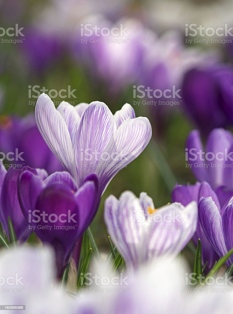 crocus composition royalty-free stock photo
