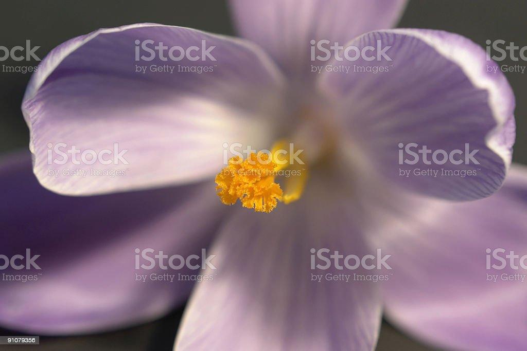 crocus flower closeup royalty-free stock photo