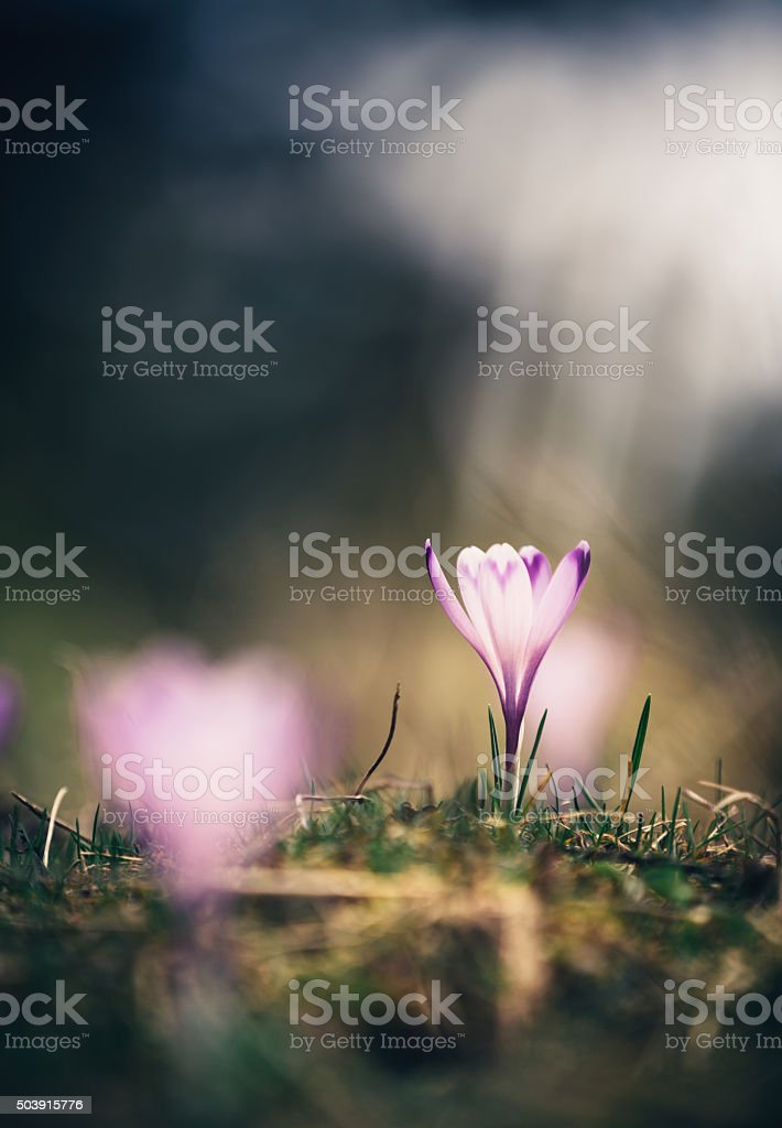 Crocus Flower Illuminated By The Sunlight stock photo