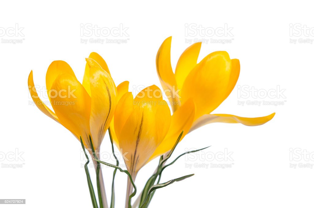 Crocus flower  isolated on white stock photo