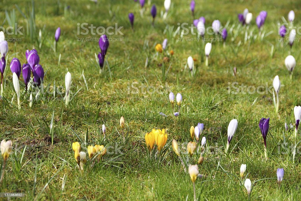 Crocus flower meadow royalty-free stock photo