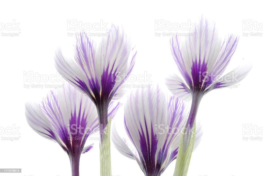 crocus flower royalty-free stock photo