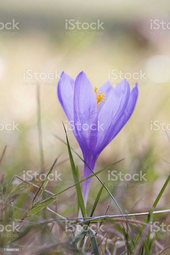 Crocus flower. royalty-free stock photo