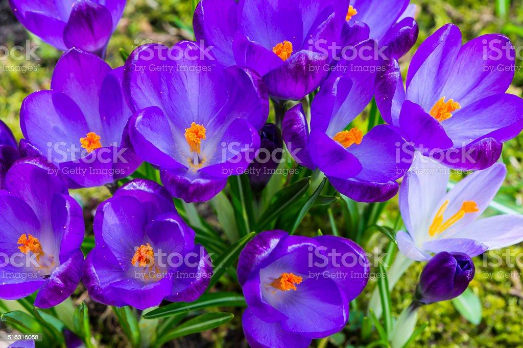 Crocus Flower Purple stock photo