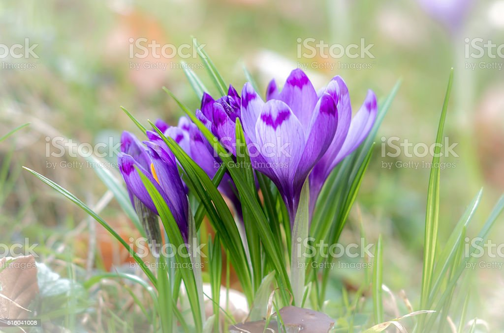 Crocus flower with shallow dof of field in springtime. stock photo