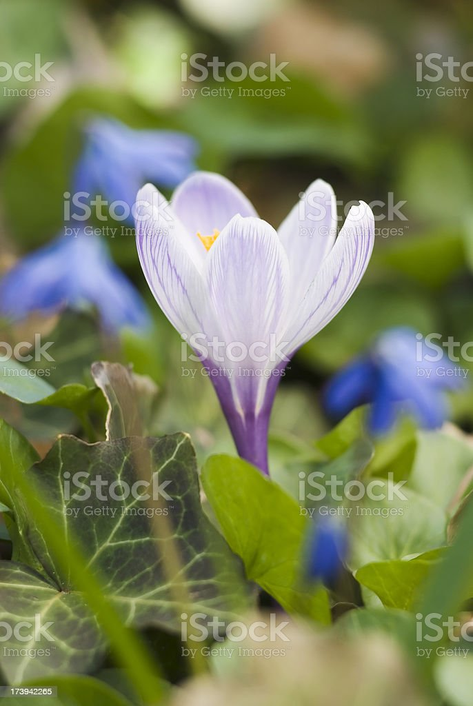Crocus flower with Siberian squill stock photo