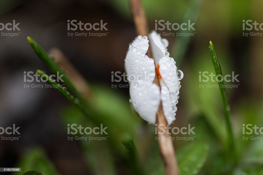 Crocus flower with water drops stock photo