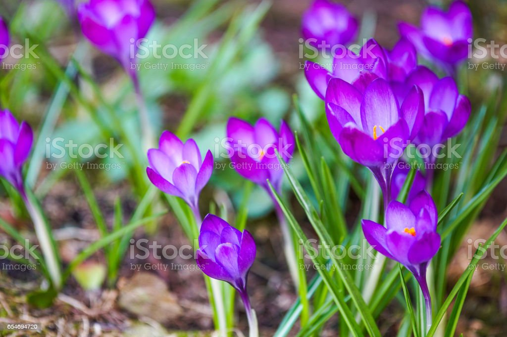 Crocus flowers at spring stock photo
