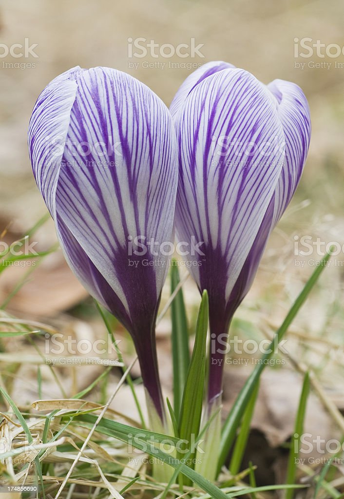 Crocus flowers in spring royalty-free stock photo