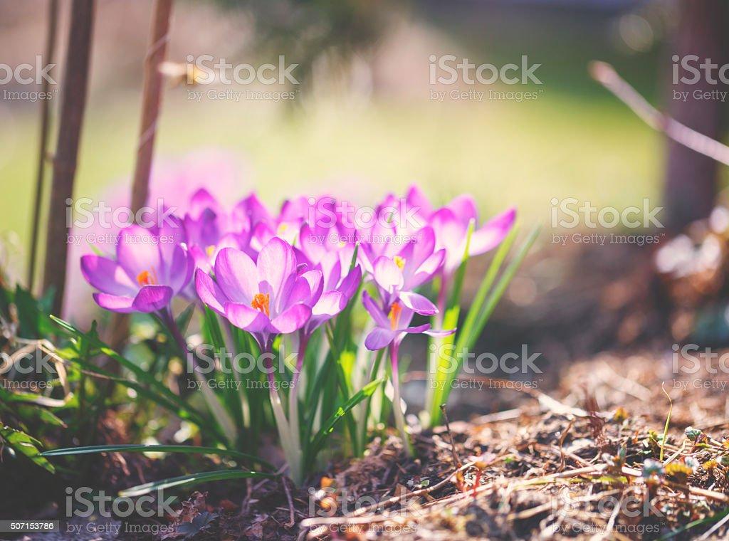 Crocus flowers in spring stock photo