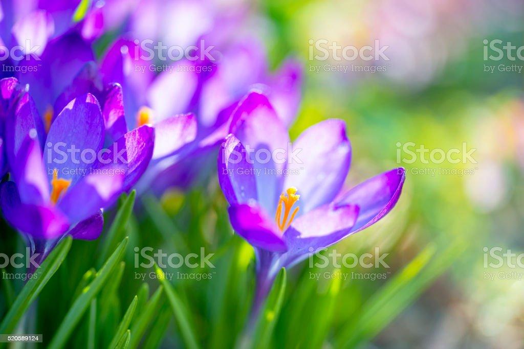 Crocus flowers in sunlight stock photo