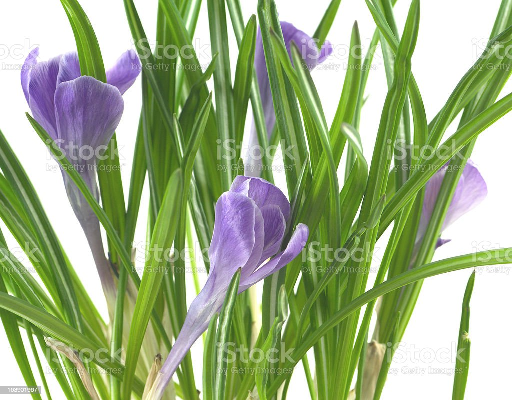 Crocus flowers isolated closeup royalty-free stock photo