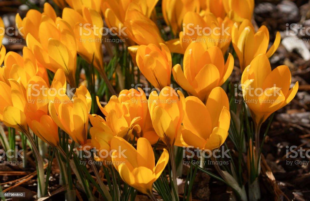 Crocus, flowers of the spring stock photo